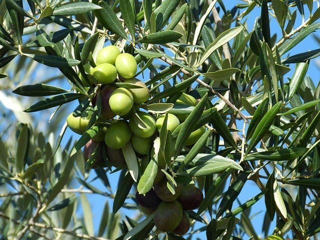 olives gordal variety