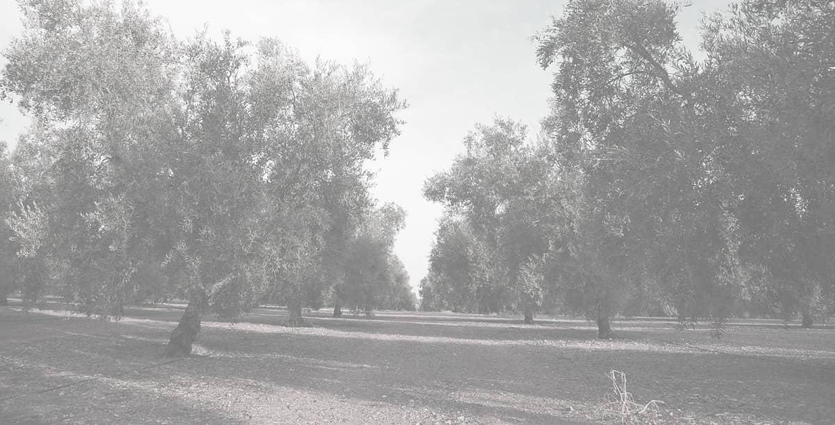 mission Torrent olives