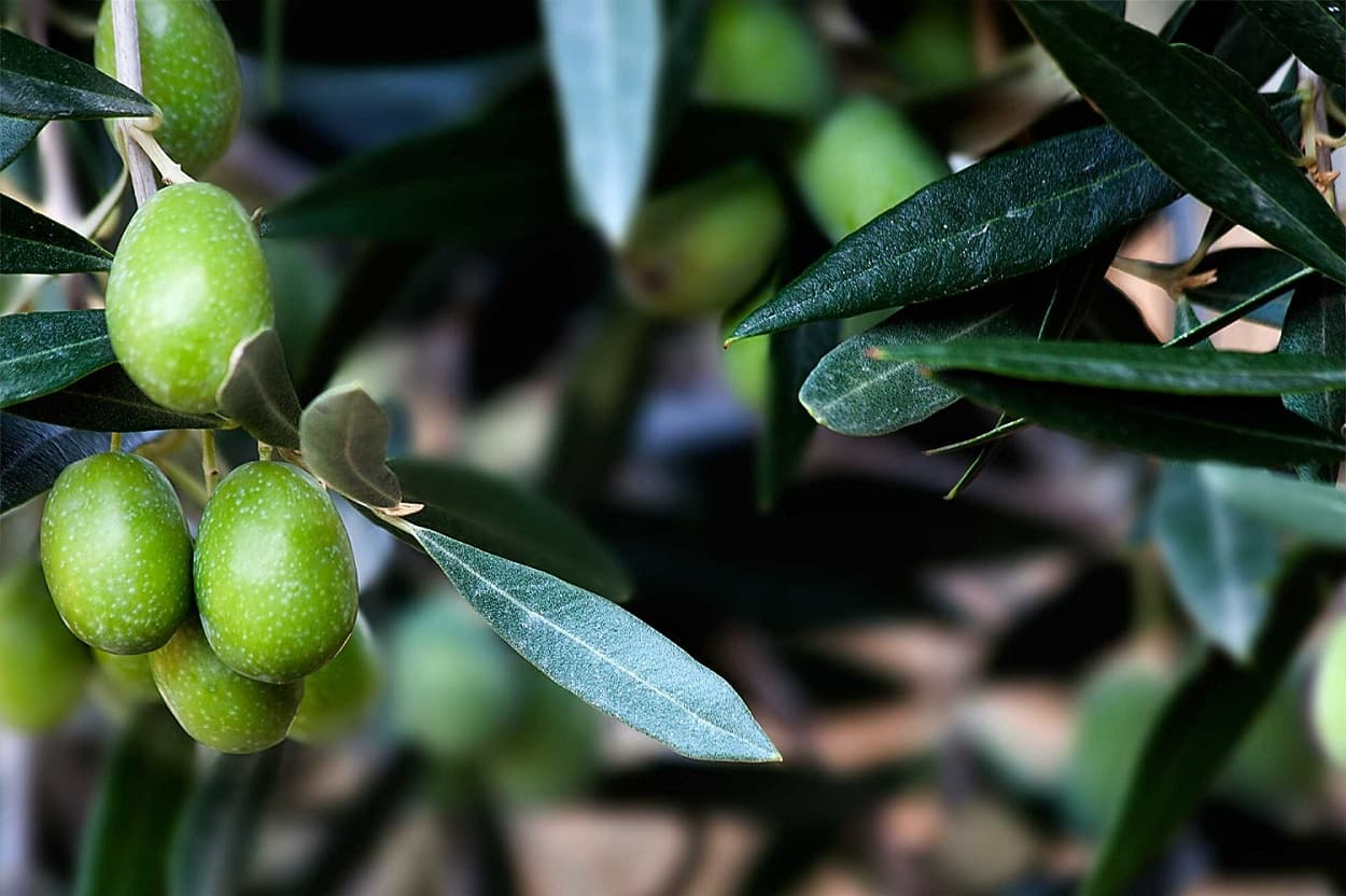 Production and Export Aceitunas Torrent