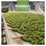 Aceitunas verdes|Aceitunas Verdes