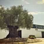Lo que no sabes del olivo||Lo que no sabes del olivo